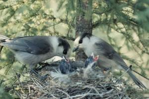 Perisoreus canadensis alimentando